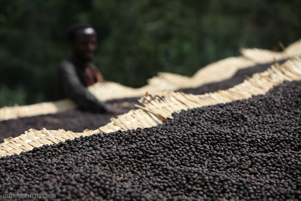 Coffee drying on raised beds in Ethiopia.