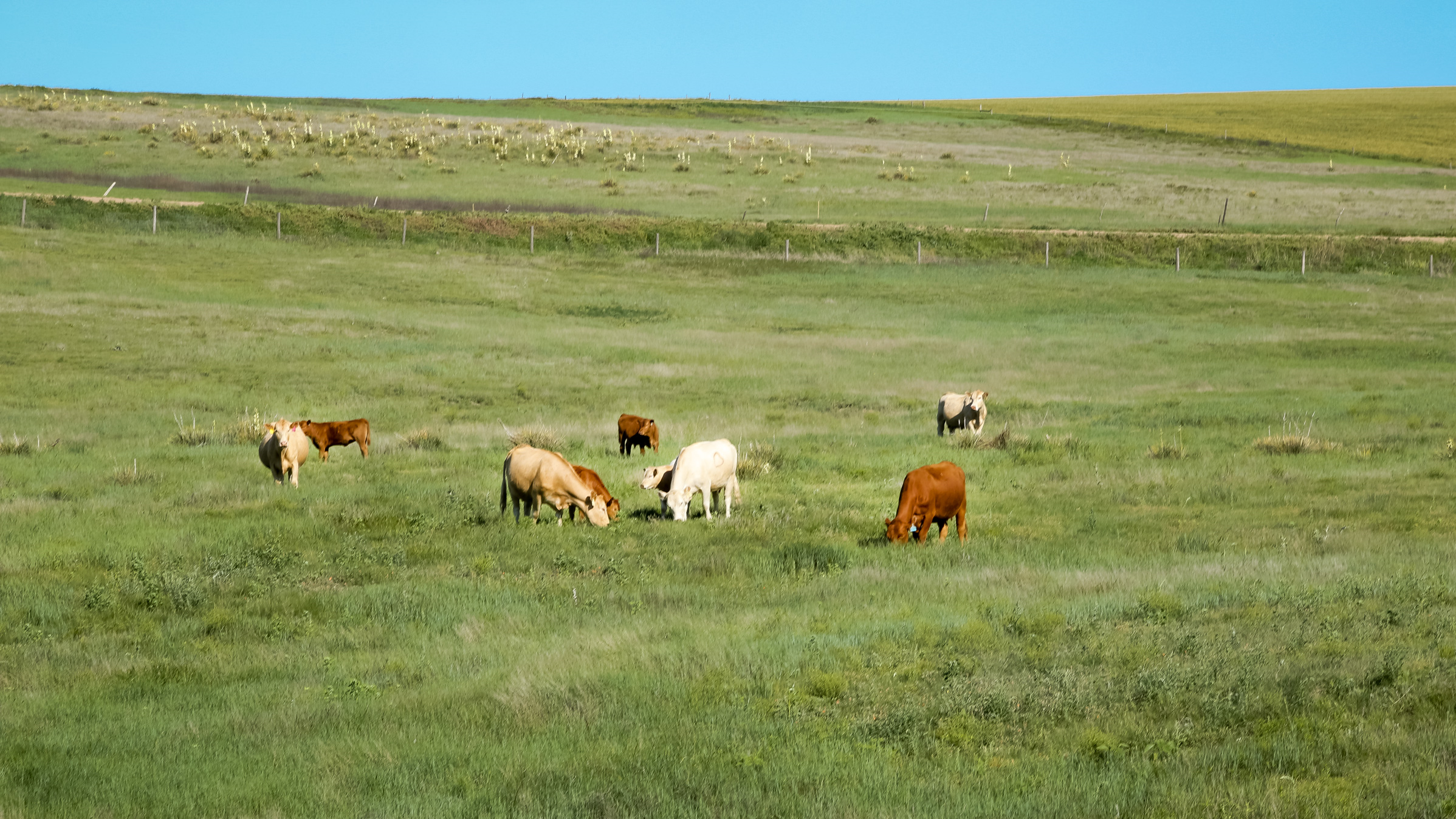 Our Red Angus & Hybrid cattle run together in large contemporary groups