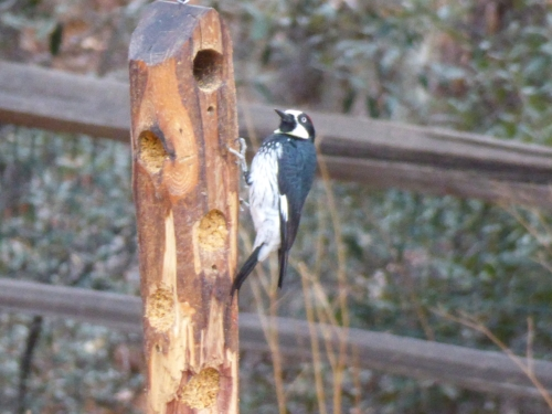 acorn woodpecker 2018 AZ.JPG