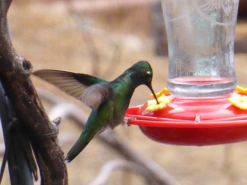 Rivolas Hummingbird 2018 AZ 1.JPG