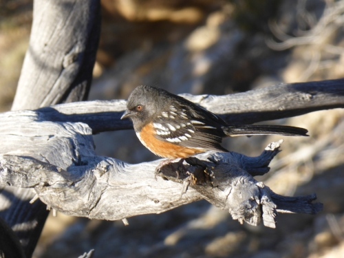 Spotted Towhee photo by Jim Hughes