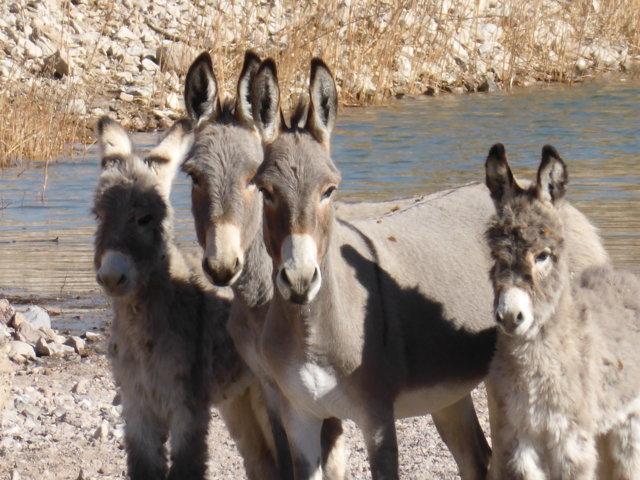 wild burro 2.JPG