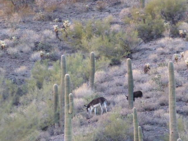 wild burro 4.JPG