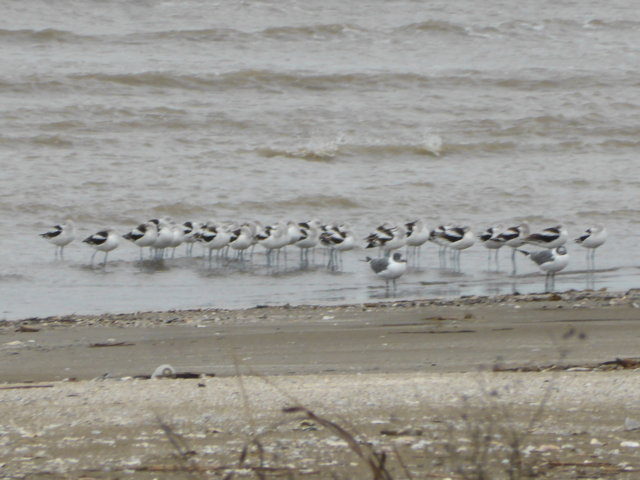 American avocets with 2 Laughing gulls