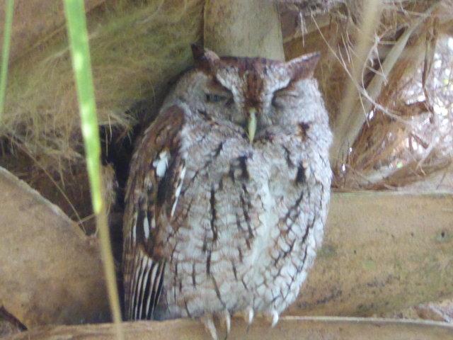 Eastern Sreech Owl
