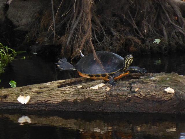 Turtle  - doing yoga?