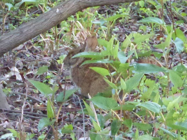2. Eastern Cottontail