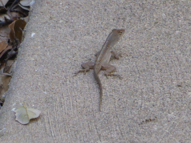 5. Brown Anole