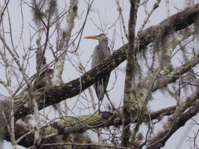 17.  Great Blue Heron