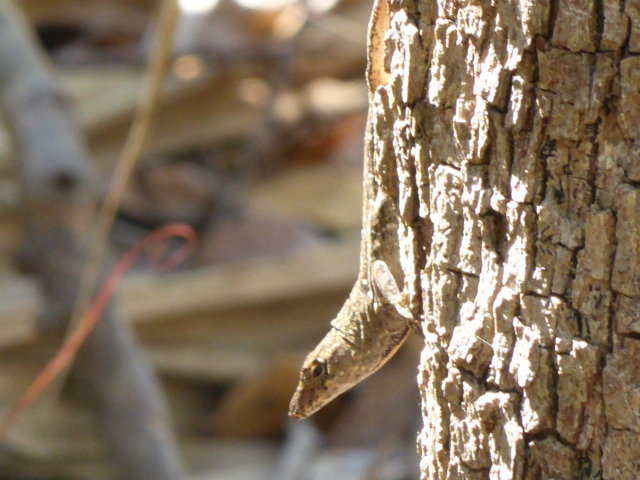 18. Brown Anole (yet again)