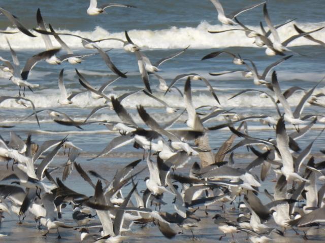 Herring Gulls with Laughing Gulls