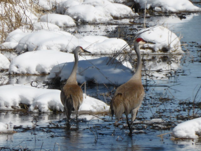 More Sandhill Cranes