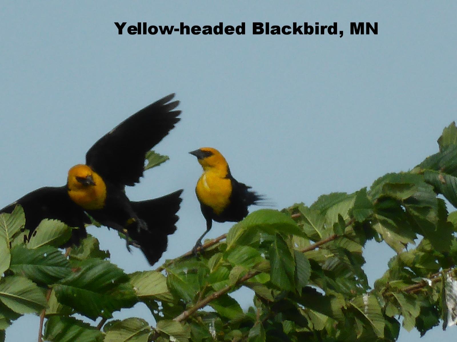 Yellow Headed Blackbirds.jpg
