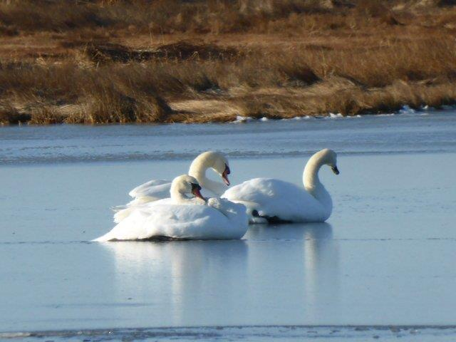 Mute Swans lounge on ice