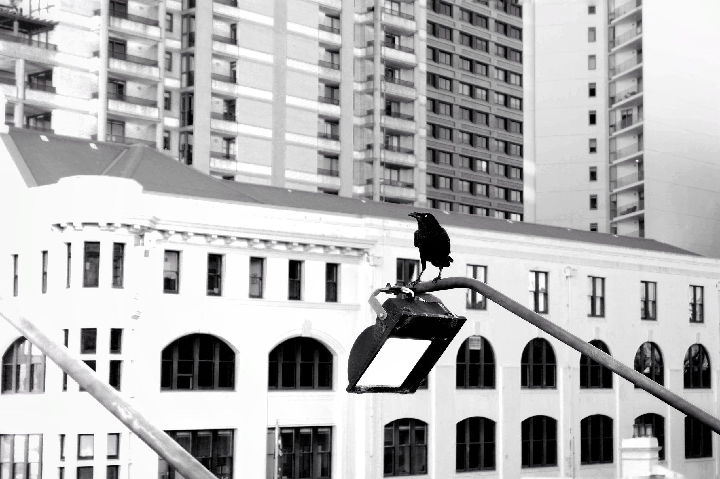 Urban crow