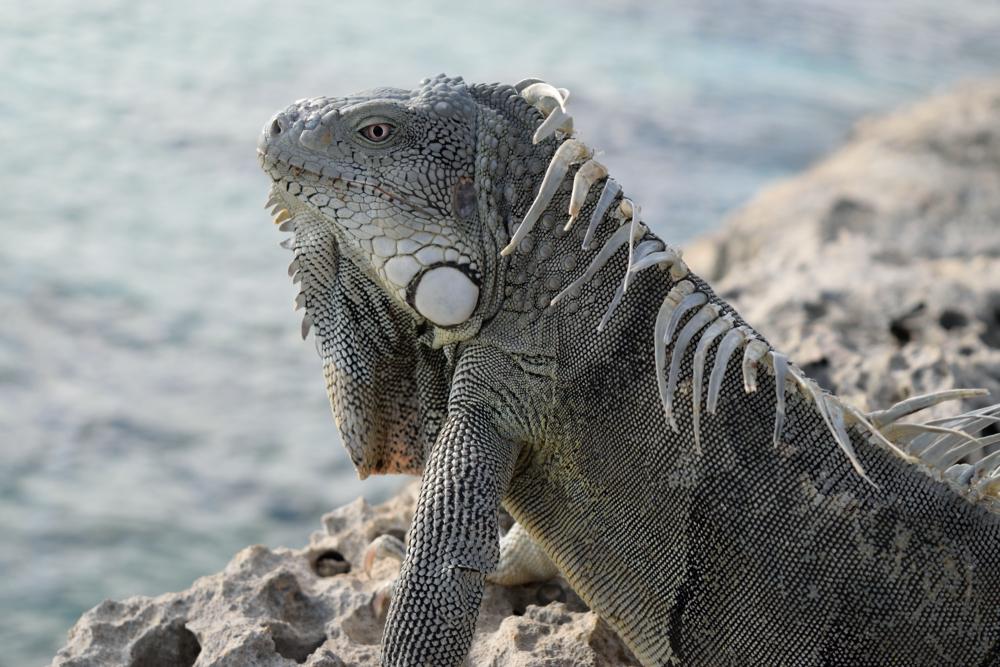 Iguana closeup_034.JPG