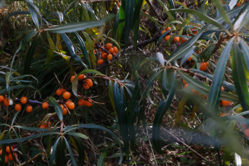 Sea Buckthorn berries and sauna in Finland