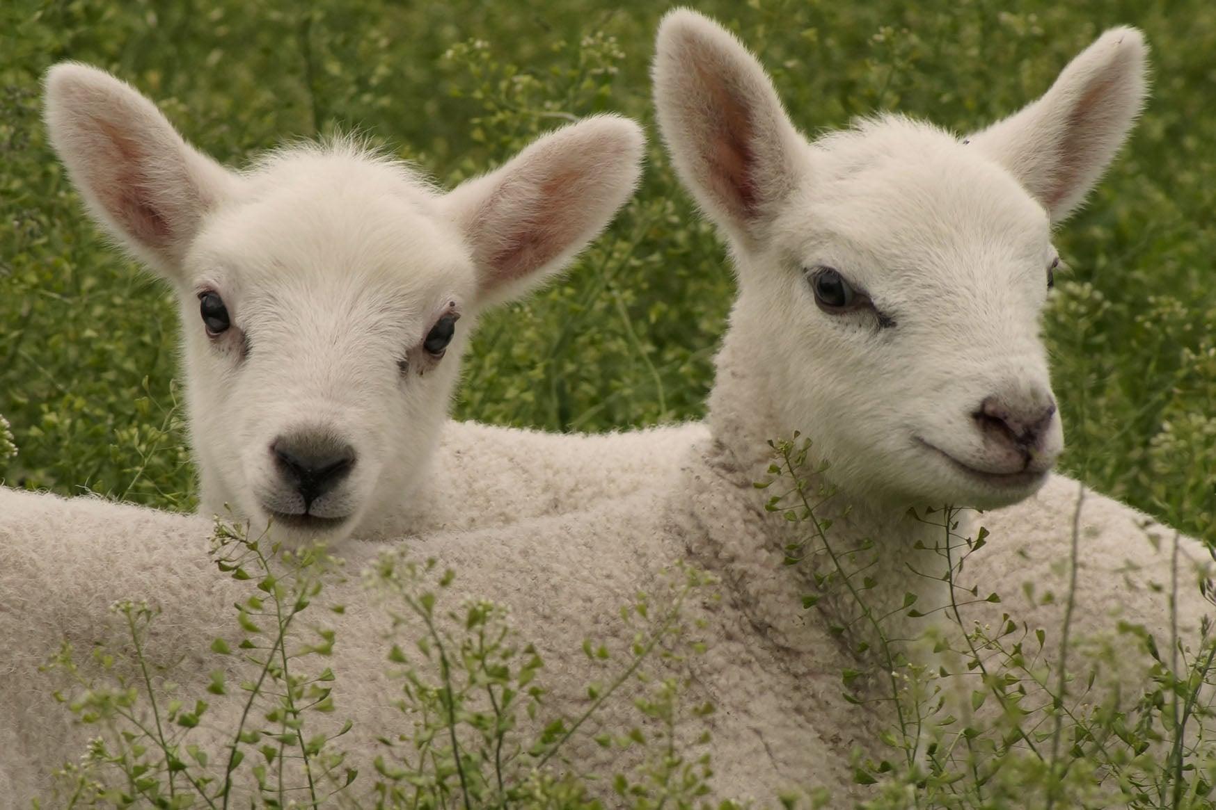 Natasha's Lambs _02.jpg