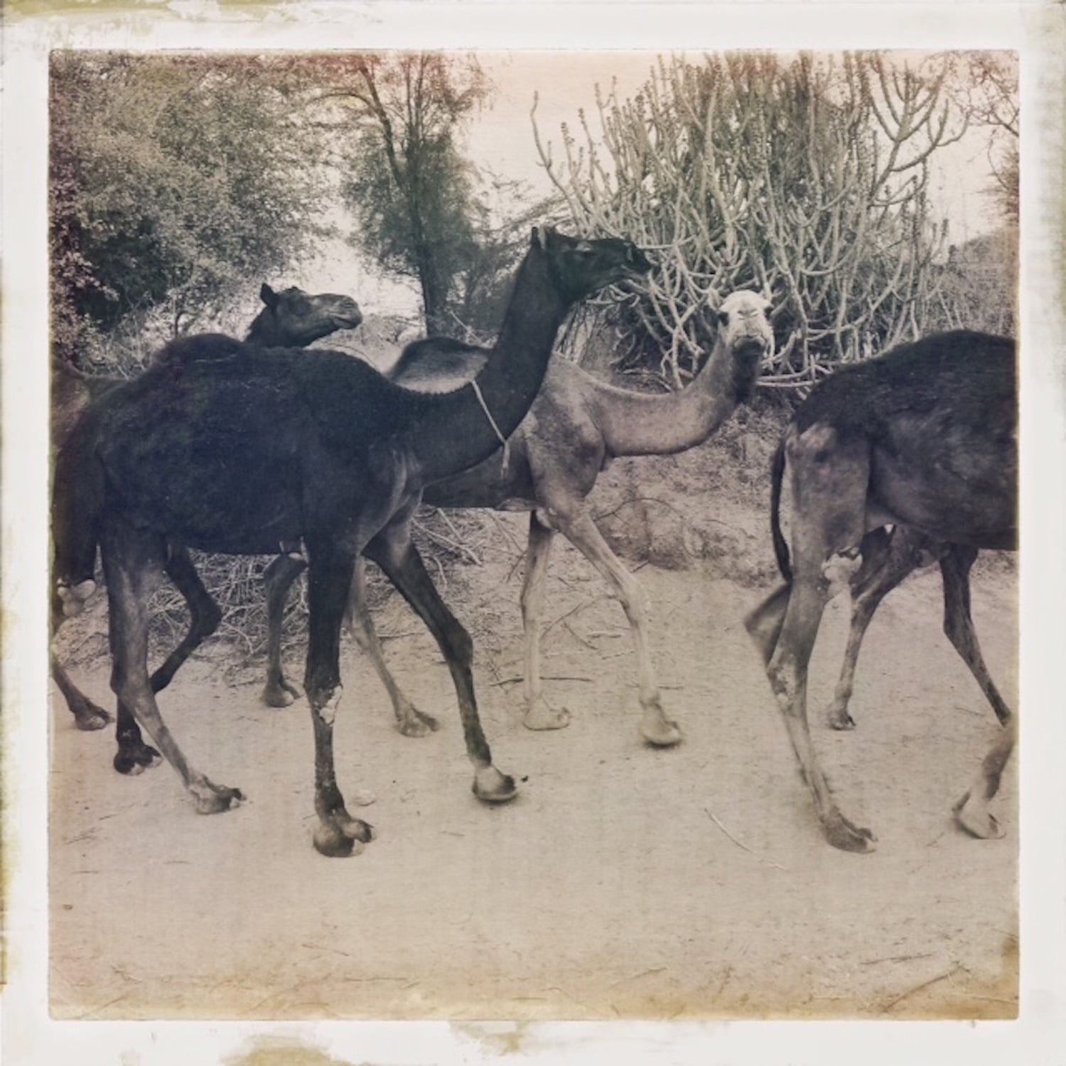 Camels Coming Home