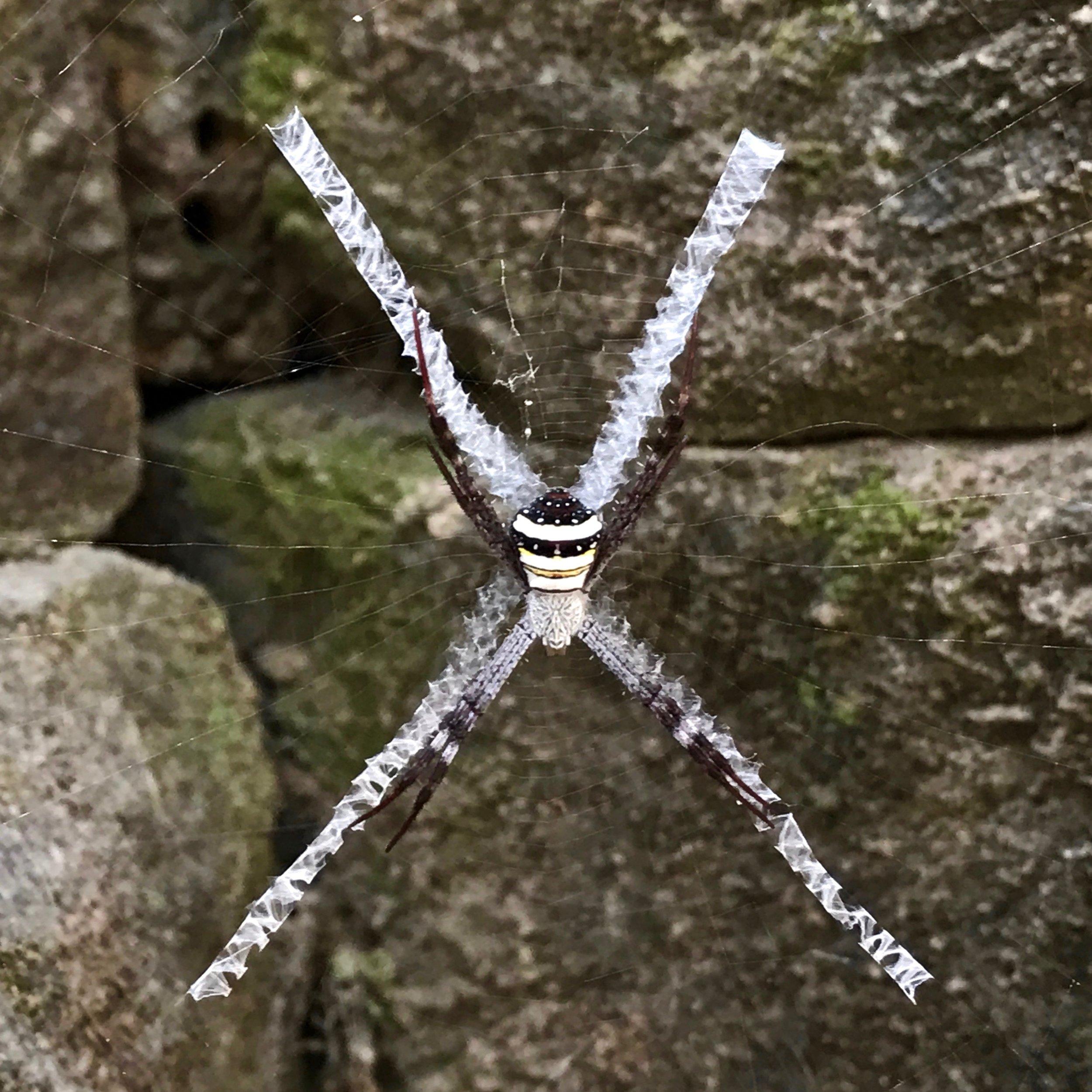 Spider at Angkor Thom