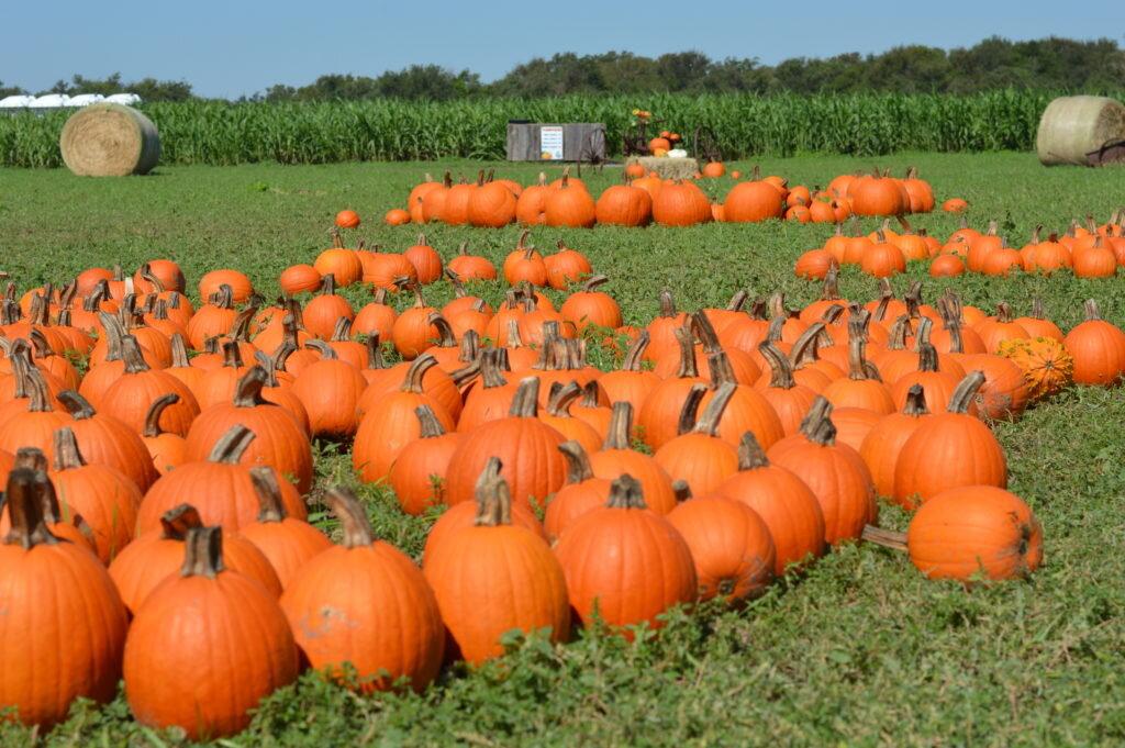 Pumpkin patch at Fall Festival. Credit Barton Hill Farms.