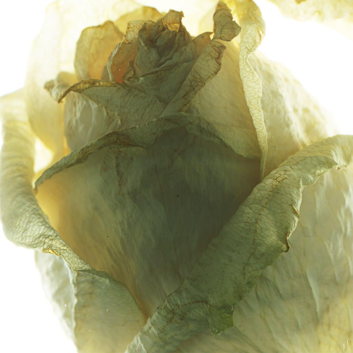 whiterose3-sq.jpg