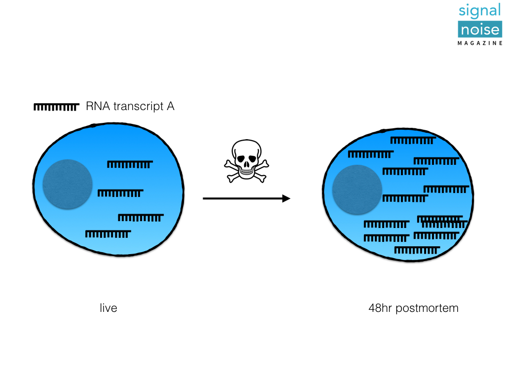 FIGURE 1:ACTIVE TRANSCRIPTION. AFTER THE ORGANISM DIES, THE CELL MAKES MORE COPIES OF RNA TRANSCRIPT A.
