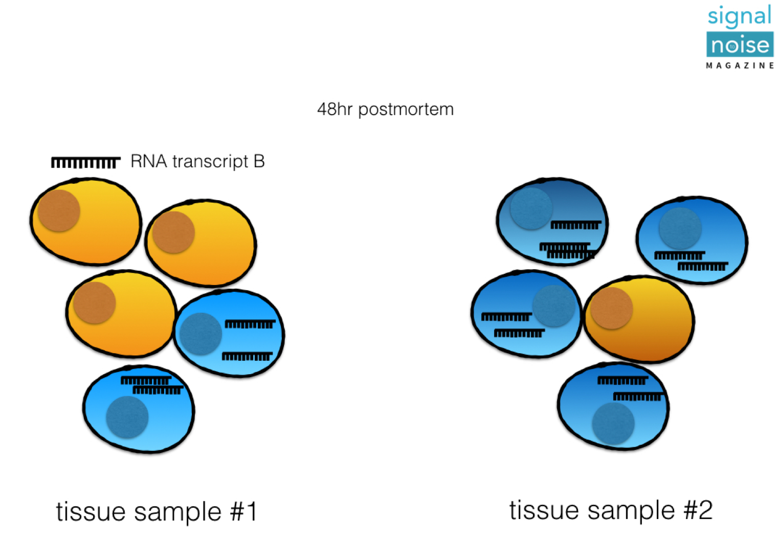 FIGURE 3. THE EFFECT OF CELL TYPE WHEN COMPARING DIFFERENT TISSUE SAMPLES. DIFFERENCES IN TRANSCRIPT B AT 48hr DUE TO VARIABLE COMPOSITION. TRANSCRIPTOMES ARE BEST STUDIED AT THE INDIVIDUAL CELL-TYPE LEVEL.