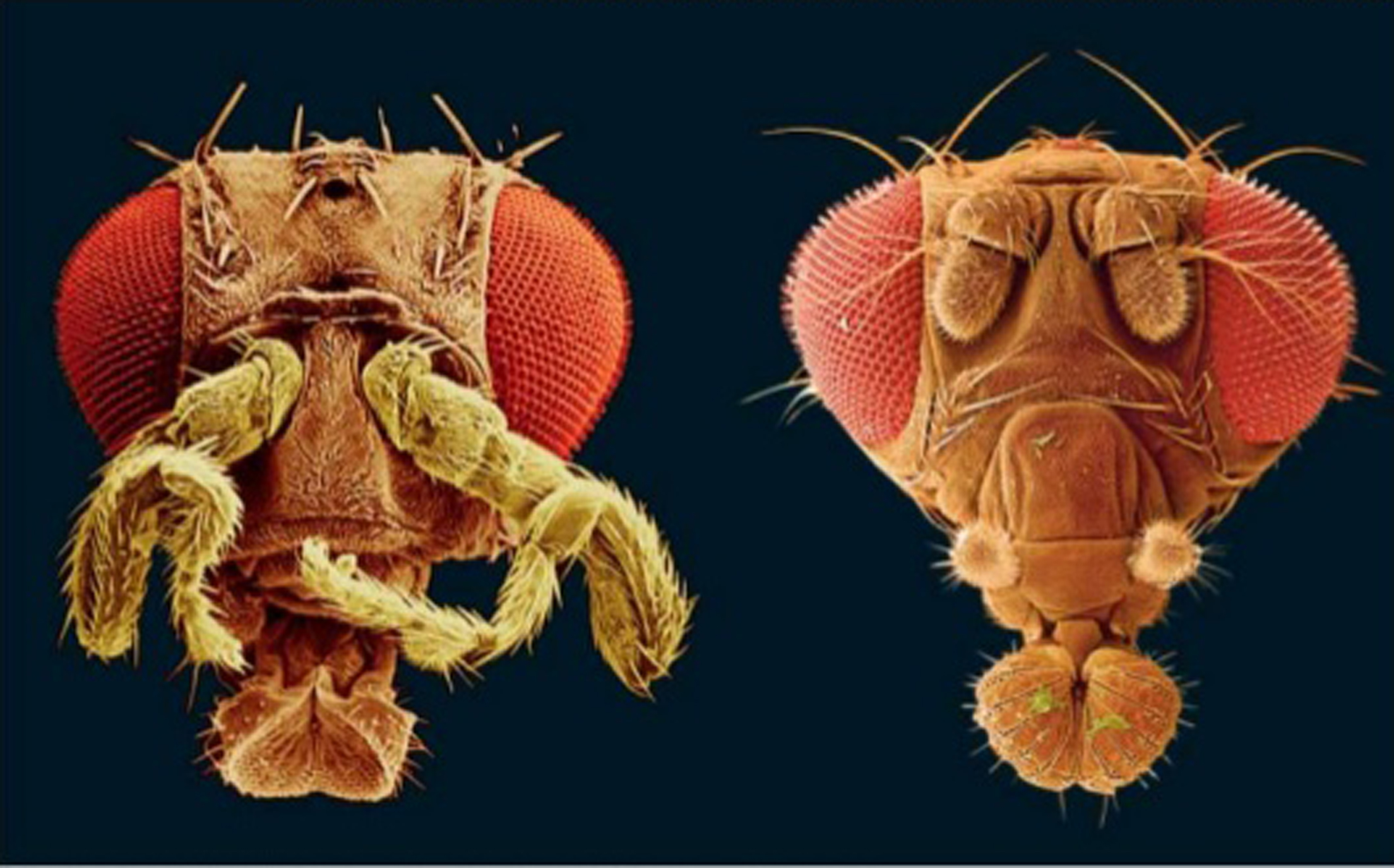 Artificially colored images of fruit flies taken with a scanning electron microscope. (Left) Expression of the gene  Antennapedia  in antennae as they develop causes them to transform into legs. (Right) Normal fruit fly with properly formed antennae. (Credit: Jürgen Berger, Max Planck Institute for Developmental Biology, Tübingen, Germany.Visuals Unlimited.)