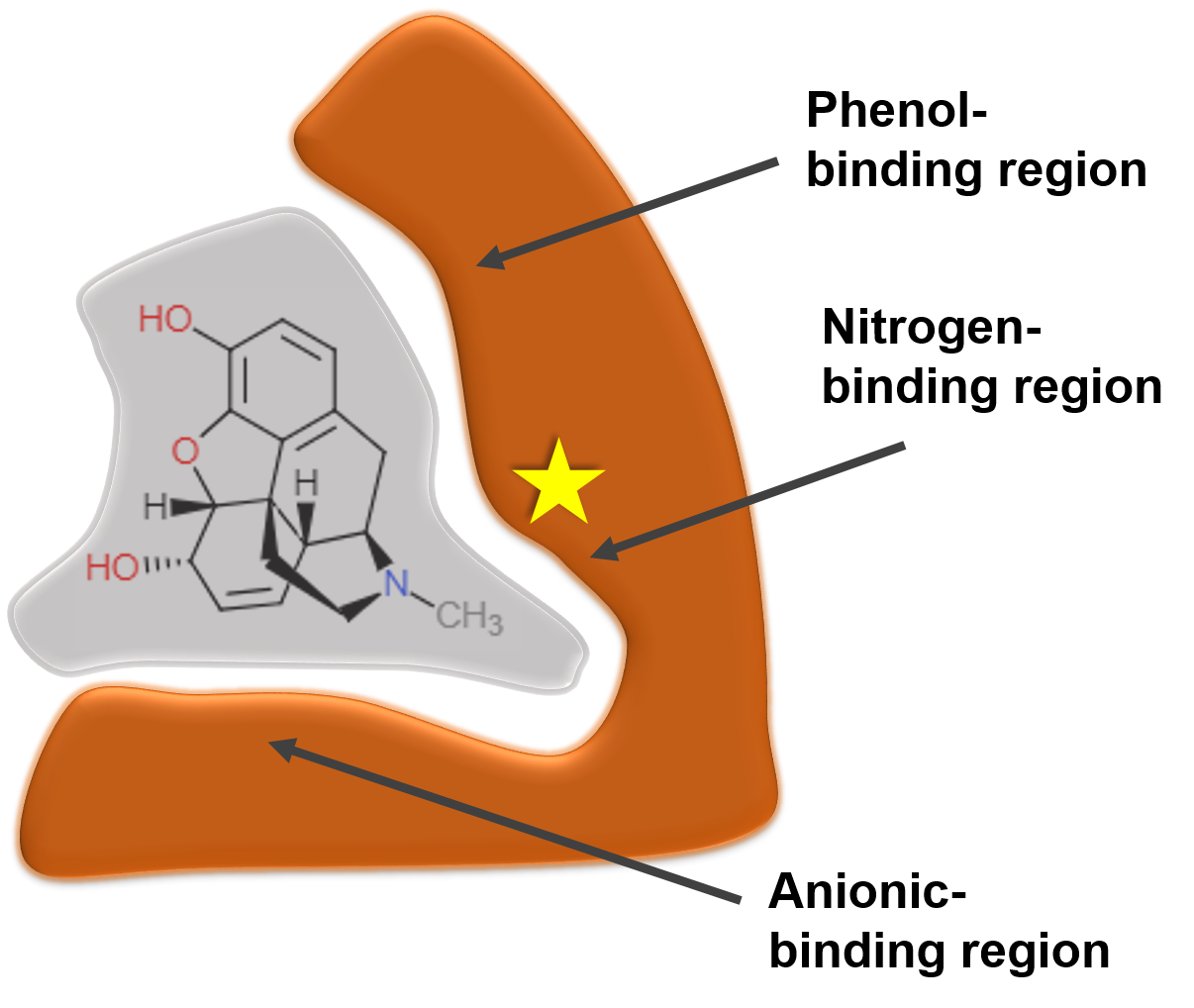 Figure 2: Schematic of the m-receptor binding morphine. Upon crossing the blood-brain-barrier, opioids bind the m-receptor which is responsible for the release of dopamine to produce a euphoric sensation. The main binding sites are labeled here, with the star denoting the nitrogen-binding region which is responsible for a majority of the activity of opioids. Image credit: Kristina Garske