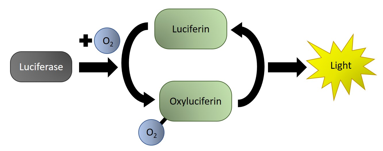 Schematic illustrating the chemical reaction of luciferase and luciferin to produce bioluminescent light. Image compiled by Shuin (Sue) Park.