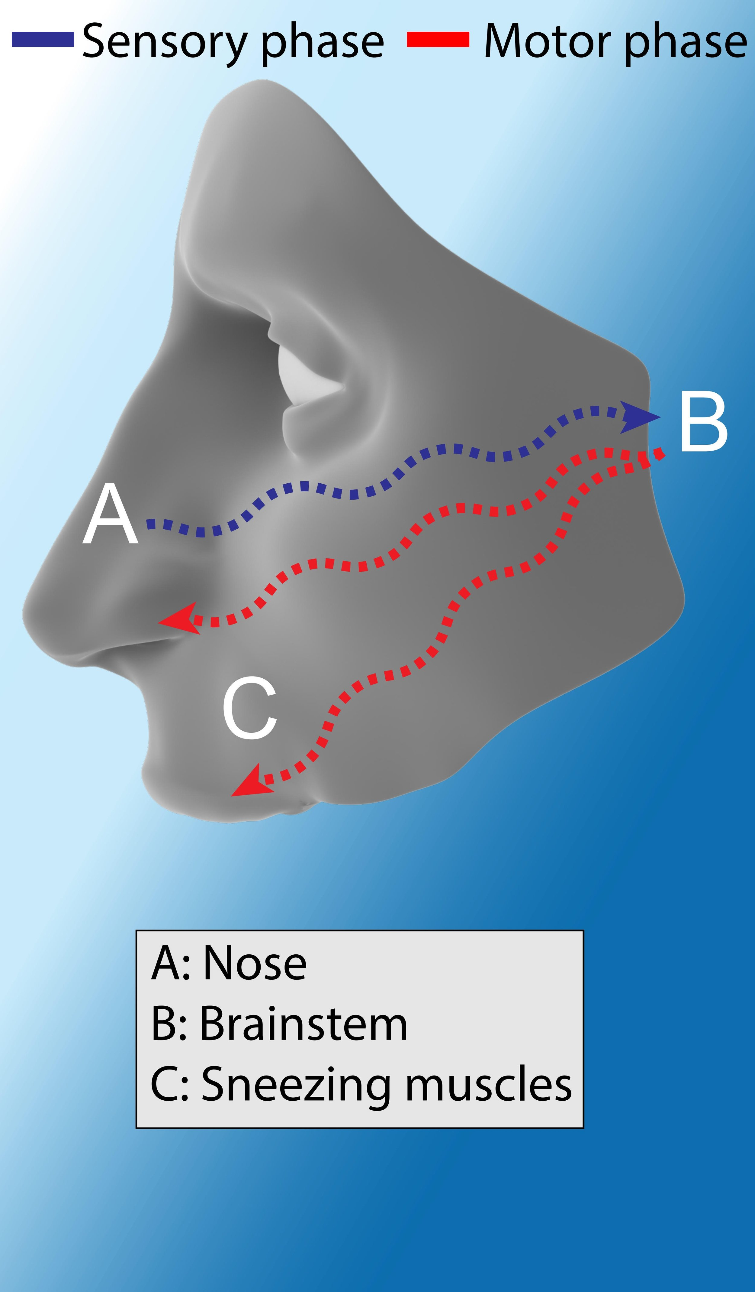 """Normal sneezing : The trigeminal nerve senses irritation in the nose (A) and relays this information to the brainstem (B), which activates sneezing muscles (C) in the face, throat, and chest. Image Credit: Alex Sercel with the """"face"""" image licensed under  CC BY-NC-SA 4.0 ."""