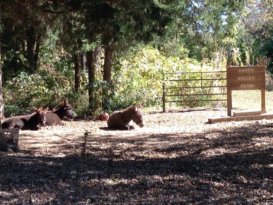 Sunning donkeys