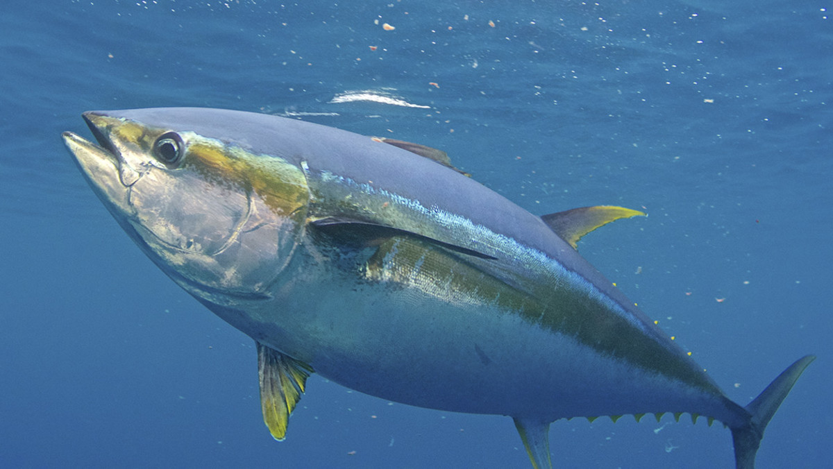 Yellowfin (pic complements of  Salt Water Sportsman )