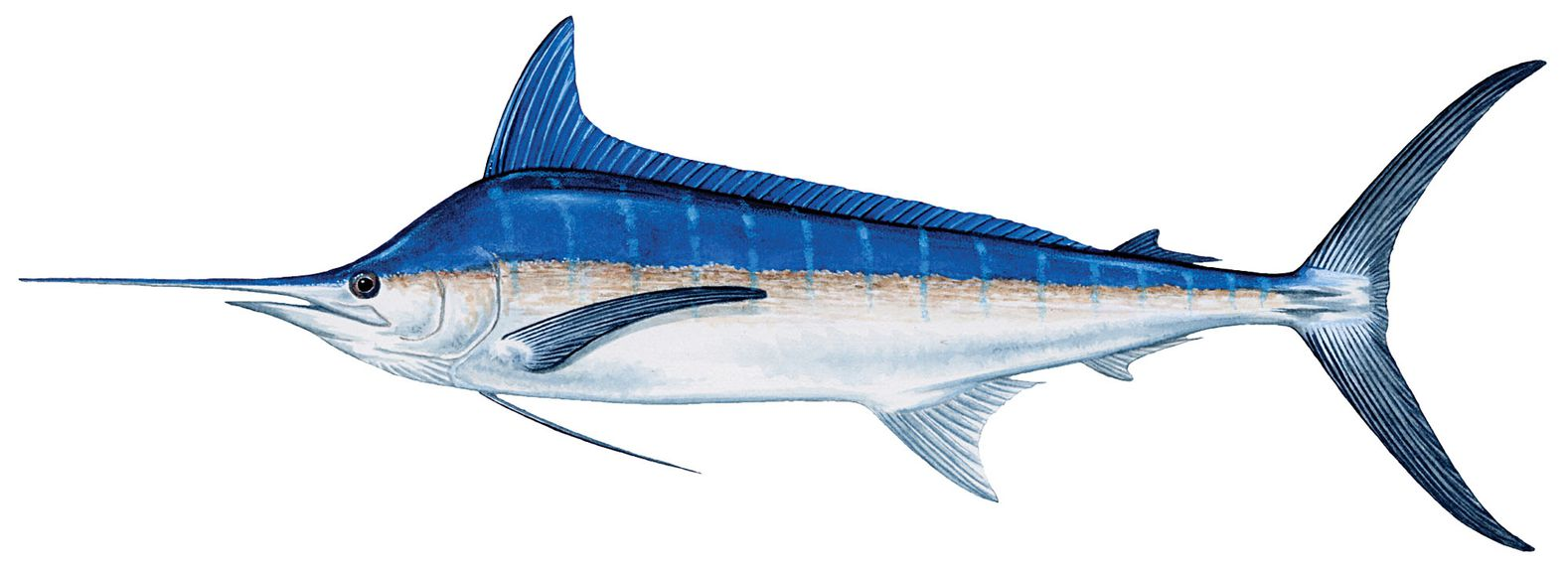 Blue marlin (pic complements of  Salt Water Sportsman )