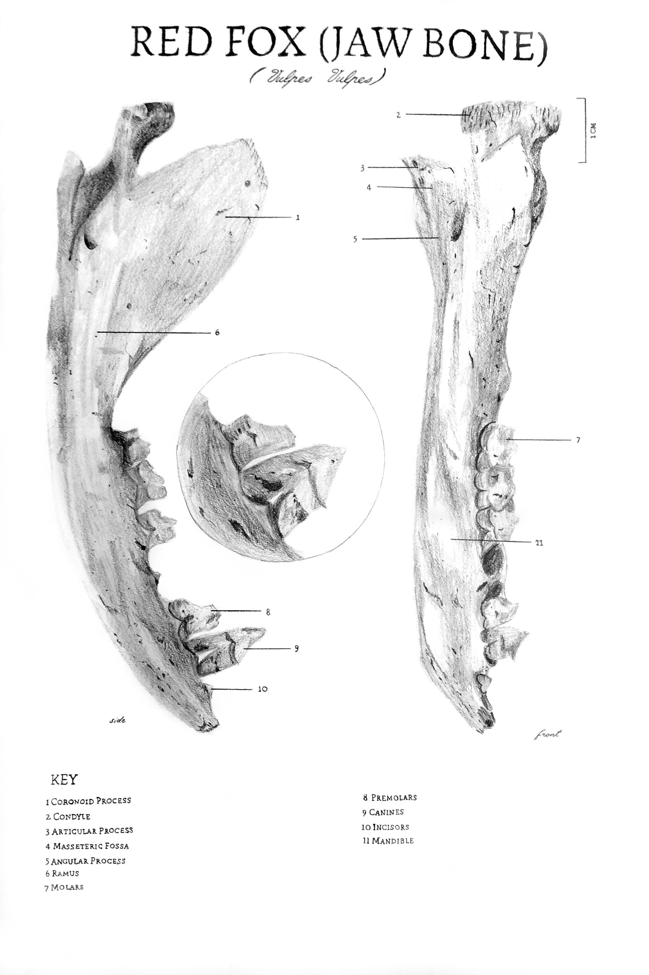 Fox Bone Scientific Illustration