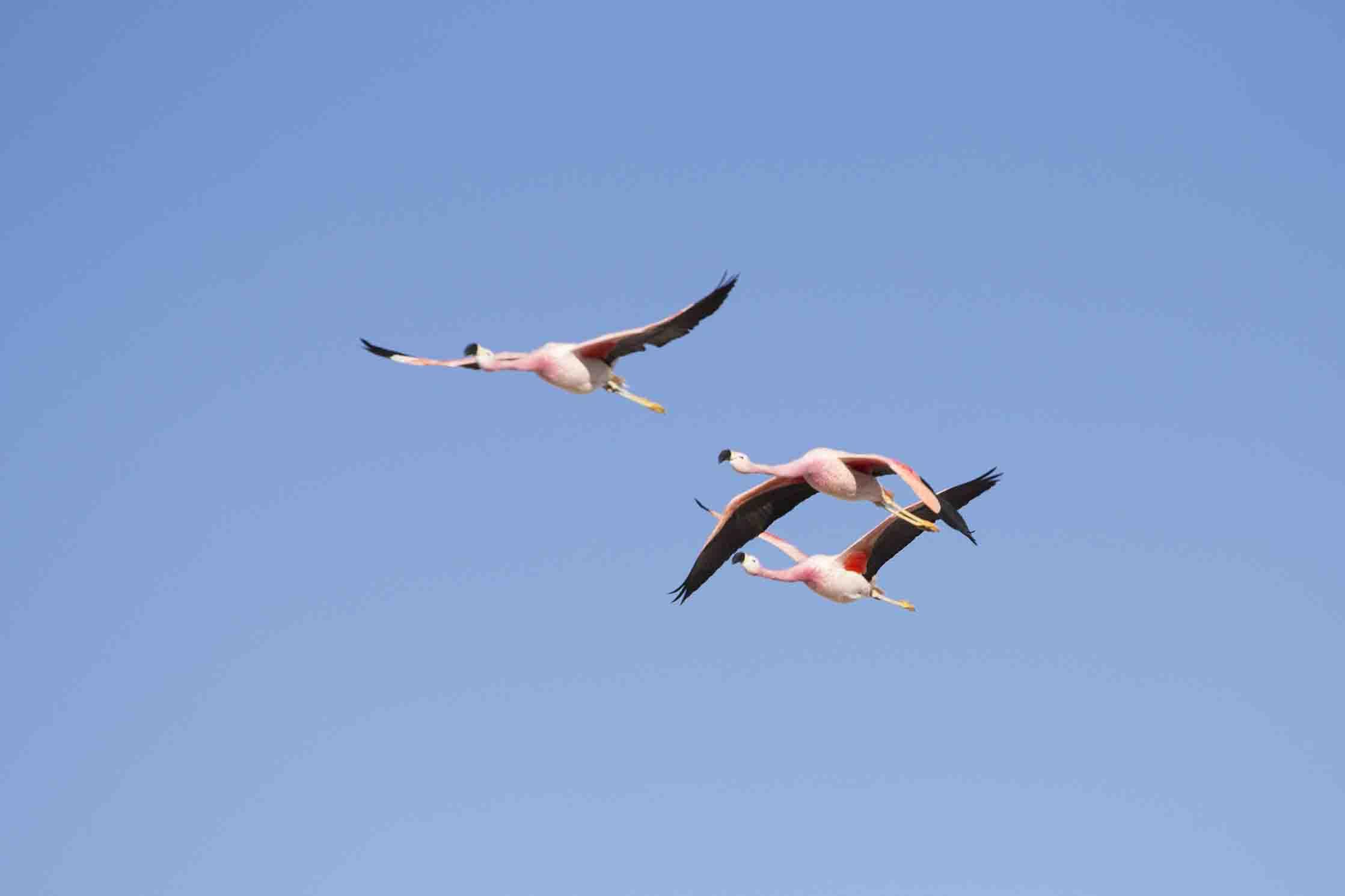 Flamenco libres voladores :)