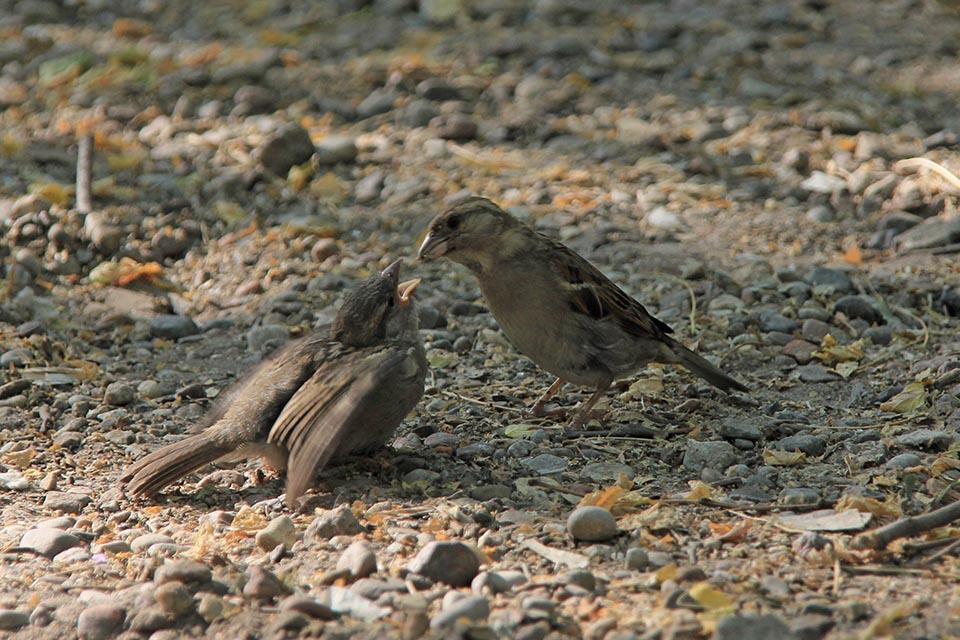 A los gorriones les encanta compartir su comida. Apenas descubren algo de alimento llaman a sus amigos y sólo comienzan a comer cuando están todos allí.