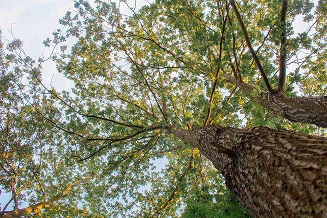 """13/52 Frente a nuestra ventana hay alrededor de 18 #robles que superan en al menos un piso la altura de nuestra casa. Mi favorito es uno que está instalado en la entrada del parque-bosque. Más alto que los demás, con un tronco despampanante y unas ramas que parecieran abrazar a todo nuevo visitante. Este es sin duda el verdadero custodio oficial del parque y hace un par de días me pareció que me saludaba. Me acerqué para observarlo con cuidado. Las ramas superiores formaban un racimo de hojas curvilíneas que parecían mezclarse con las nubes. Una fila de hormigas avanzaba a toda velocidad por uno de los surcos profundos de su corteza mientras que un pájaro, desde alguna rama, hacía un ruido parecido al de un pato y completamente nuevo para mi. Ahí me quedé un buen rato. Quieta. Tranquila. Y bastante curiosa por saber cual es el significado del roble para la cultura alemana. Más tarde me di cuenta que """"el"""" roble, además de ser considerado el árbol más poderoso de Europa, en alemán se dice """"die"""" Eiche y es femenino. O sea que #Eiche es una ELLA. O sea que el regimiento de robles que nos acompaña desde el parque es en realidad un verdadero colectivo de sabias guardianas. Leí que Eiche es uno de los árboles más eficientes del bosque. Esa imagen de fortaleza y sabiduría que inspira Eiche tiene su razón de ser probablemente en su función biológica. Ningún otro árbol se entrega al reino animal como lo hace Eiche. Es uno de los árboles que más vida da a otras criaturas del bosque, es capaz de alimentar a más de 500 tipos de arañas e insectos, incontables tipos de aves además de un montón de ardillas que en alemán se llaman Eich-hörnchen (su nombre viene de Eiche!) La palabra Eiche tiene su origen en el latín """"esca"""", que significa algo así como """"comida"""". Y para los antiguos germanos Eiche, además de representar seguridad y sabiduría, era un símbolo justicia. Cuenta la leyenda que el nombre de mi ciudad Potsdam se deriva de una palabra eslava que significa """"unter den Eichen"""" -"""