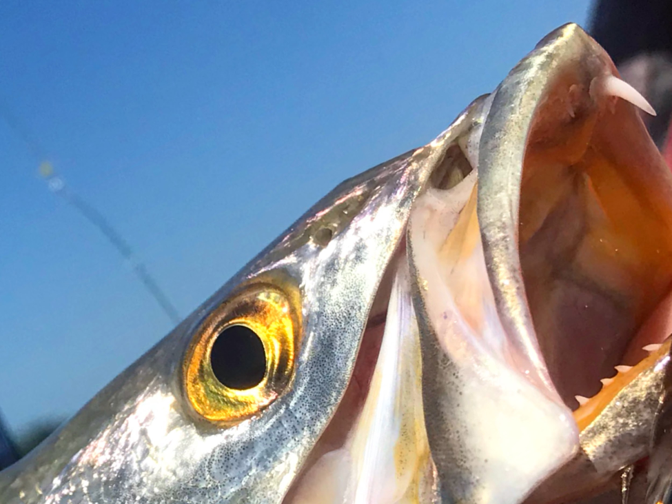 Seatrout mouth 6.png