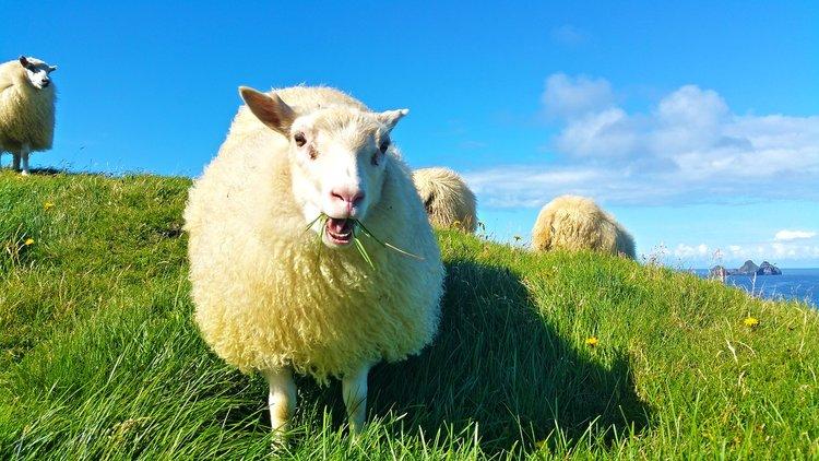 Dear Lamb