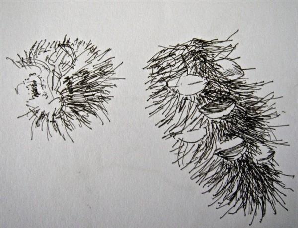 Banksia Men
