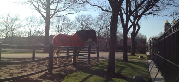One of the famous Budweiser Clydesdale horses