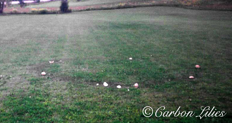 The ring of mushrooms that appeared overnight.