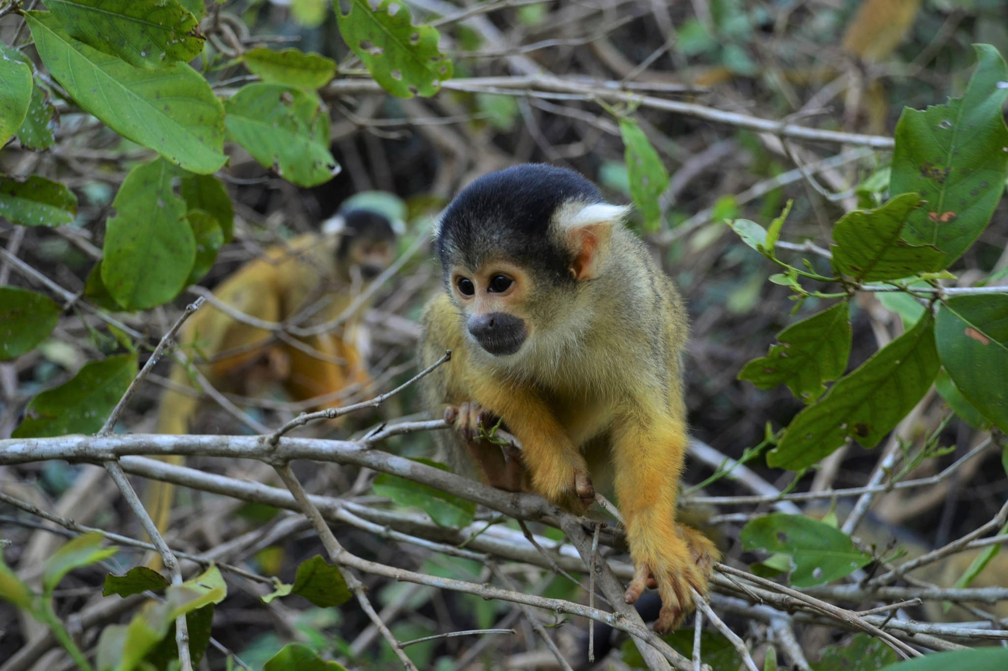 Spider Monkeys, Bolivia