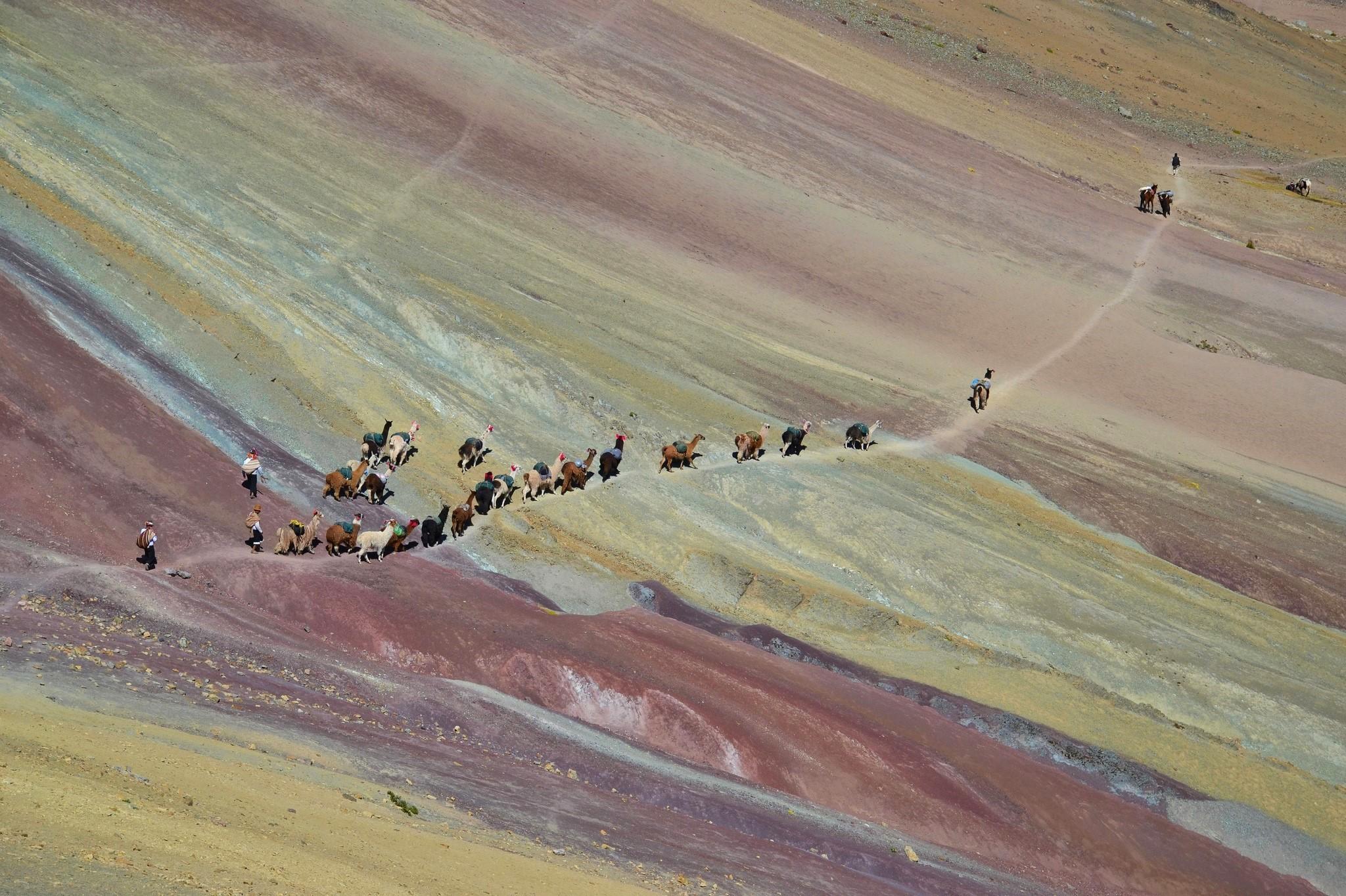 Llamas crossing Rainbow Mountain, Peru