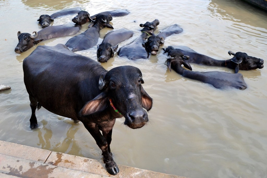 Water Buffalo in India
