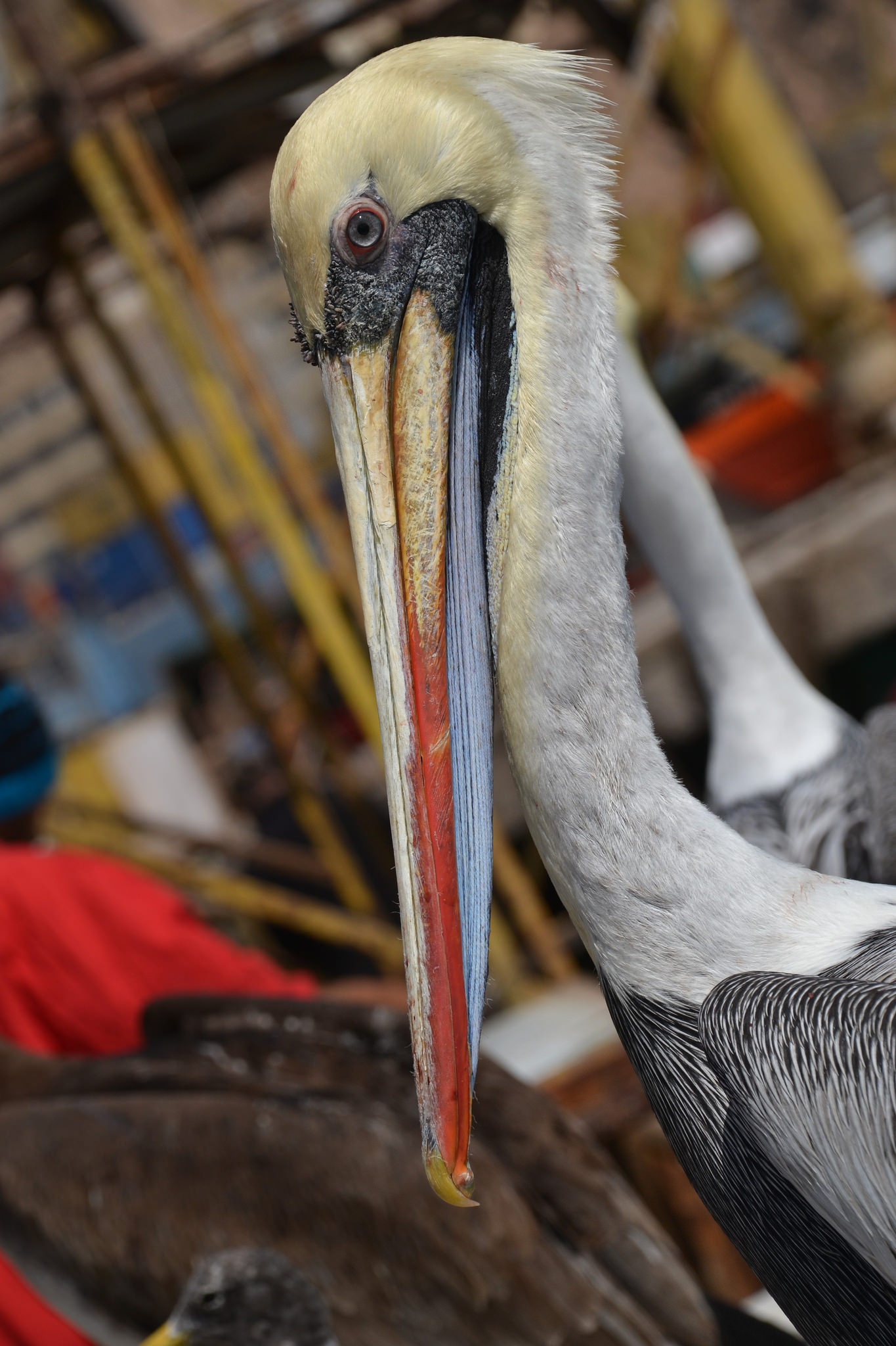 A Pelican in Chile