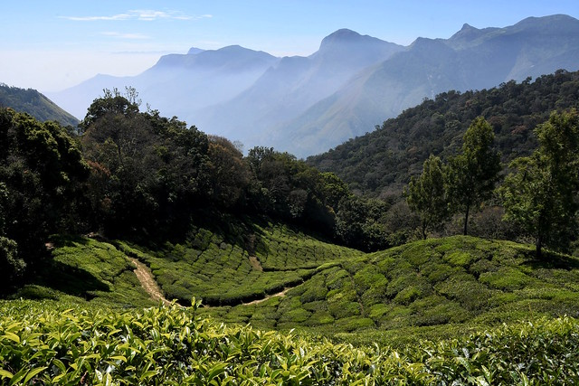 The hills of Munnar, India.
