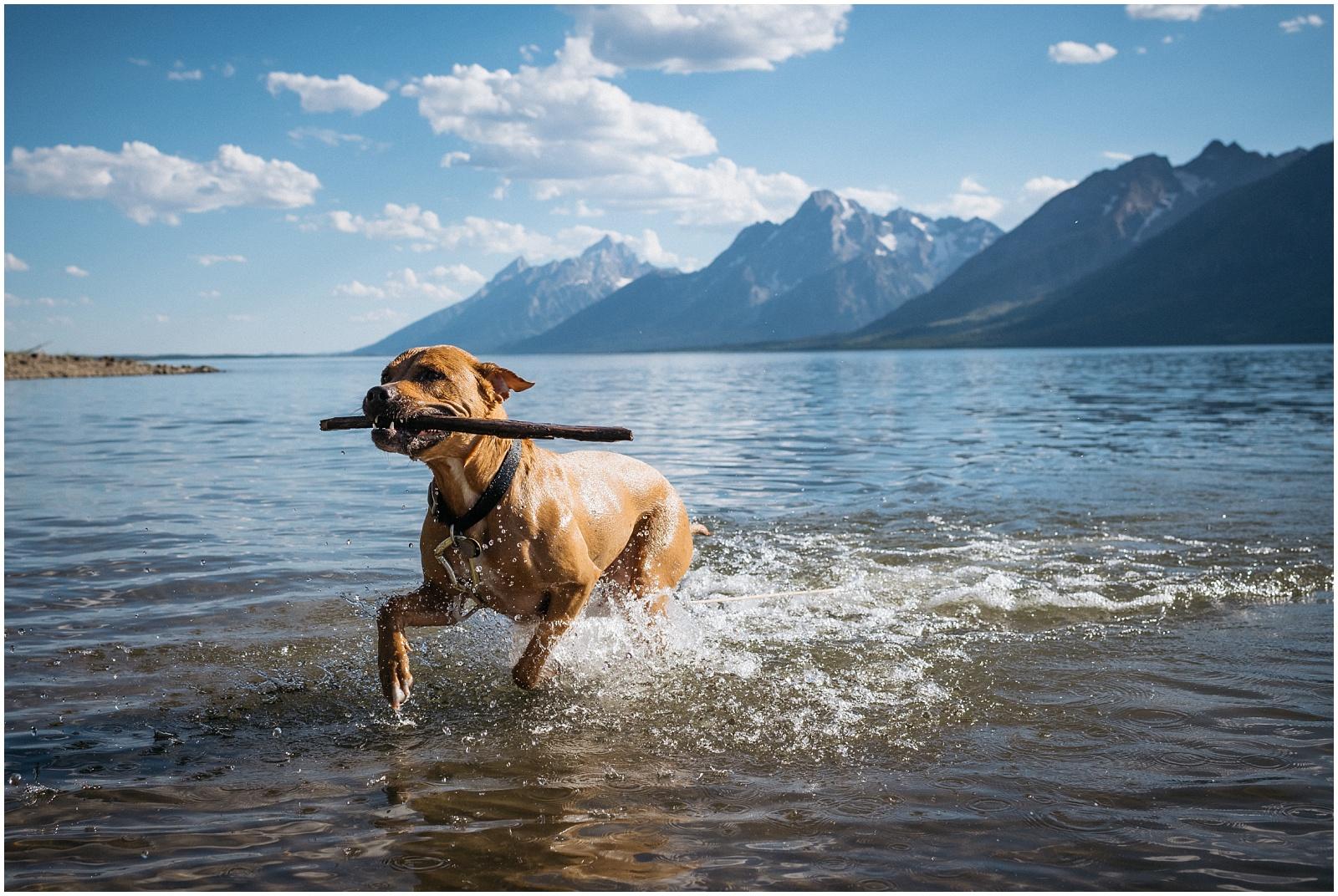 Happy Dog fetching stick in lake at Grand Teton National Park